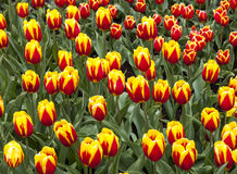 Field of. Colorful field of Cape Cod tulips in a Dutch garden in spring Royalty Free Stock Photos