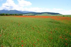 Field. Of poppy Stock Images