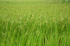 Field 3. Green rice field royalty free stock image