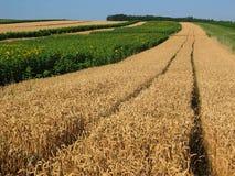 Field. Summer wheat field in Austria stock image