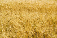 The field. Royalty Free Stock Image