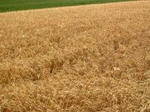 Field. Summer wheat field in Austria stock photo