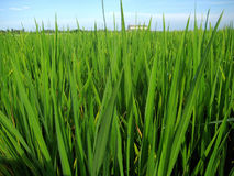 Field. A photography shoot of growth paddy field, the photo shoot at morning with blue sky and low angle view. Factory background Royalty Free Stock Images