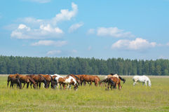 Field. Small horse herd in a field Royalty Free Stock Photo