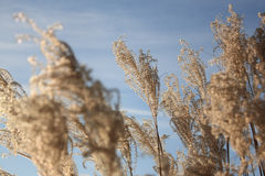 Field. A plant in the cold blue sky Royalty Free Stock Photos