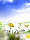 Field. Chamomile field on light solar daytime Royalty Free Stock Photos