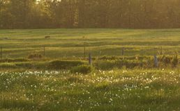 Field. A field with dandelion and grass at sunset Stock Images