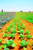 Field. Rows Of Fresh Young Green Cabbage Plants Stock Images