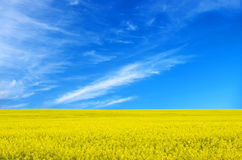 Field. The gold field is in beautiful yellow Royalty Free Stock Photos