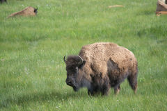 In the Field. An adult bison in a field. There were many bison in this herd and I wanted to focus on this one, while having more in the background Royalty Free Stock Photography