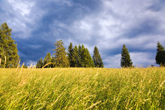 Field against dramatic sky. Field of yellow crops set against a row of trees and a dramatic sky Royalty Free Stock Photo