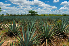 The field of agave planted Stock Photos