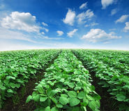 Field agiculture green grass Royalty Free Stock Images