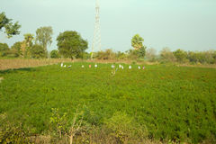 Field of agriculture in India Royalty Free Stock Image