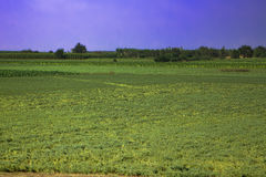 Field of agriculture in India Royalty Free Stock Photo