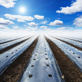 Field agriculture mulching film protect. And blue sky with sun Stock Photos