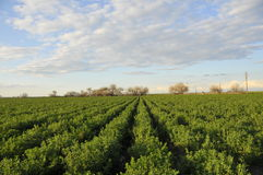 Field of Alfalfa. Growing in Central Valley, California Stock Images