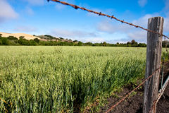 Field of alfalfa. Field of green alfalfa surrounded by barbed wire fence under blue sky with cumulus clouds Stock Photography