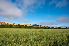 Field of alfalfa Stock Image