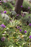 Field of Allium Flowers (Allium christophii) Royalty Free Stock Photo