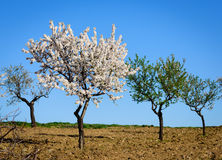 Field with almond blossoms Stock Photo