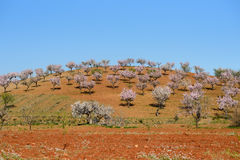 Field with almond blossoms Royalty Free Stock Photo