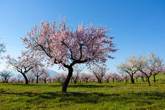 Field with almond blossoms Stock Images