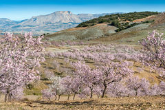 Field of Almond Trees Royalty Free Stock Image