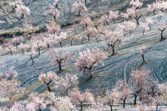 Field of Almond Trees Stock Photo