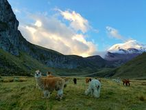 Field of Alpacas. Llama alpaca nature wildlife mountain south America ecuador chimborazo Royalty Free Stock Photo