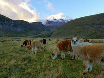 Field of Alpacas. Mountain nature landscape llama Royalty Free Stock Photo