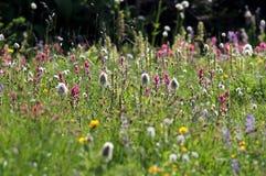 Field of Alpine Wildflowers Stock Image