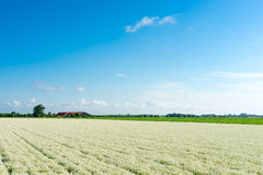 Field with alysium. Farmland with alysium and with a blue sky Royalty Free Stock Images