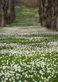 Field with Anemone Nemorosa Stock Images