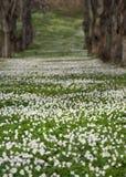 Field with Anemone Nemorosa Stock Images