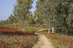 A Field of Anemones. A path in a field of anemones , going on to a grove of eucalypti Stock Image
