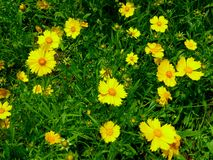 A field of coreopsis blooming Stock Photography
