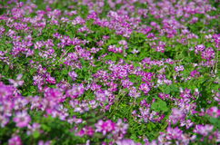 Field of astragalus. In Japan.  They are planted to enrich the soil in the rice field Royalty Free Stock Photography