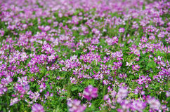 Field of astragalus. In Japan.  They are planted to enrich the soil in the rice field Stock Image