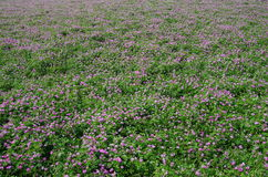 Field of astragalus Royalty Free Stock Photos