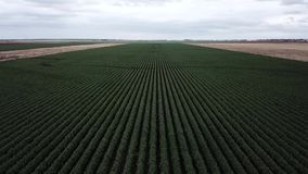 Field of Australian sorghum. Field of Australian sorghum during the day time stock footage