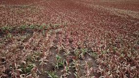 Field of Australian sorghum. stock video footage