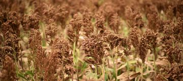 Field of Australian sorghum. Field of Australian sorghum during the day time royalty free stock photo