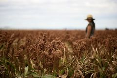 Field of Australian sorghum. Field of Australian sorghum during the day time royalty free stock photography