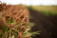 Field of Australian sorghum. Field of Australian sorghum during the day time stock photo