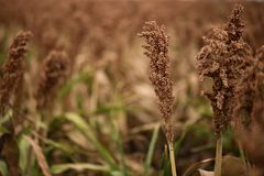 Field of Australian sorghum. Field of Australian sorghum during the day time stock images