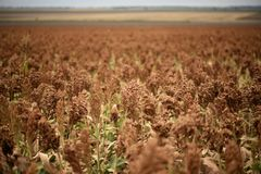 Field of Australian sorghum. Field of Australian sorghum during the day time royalty free stock image