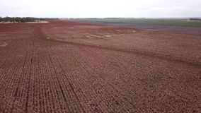 Field of Australian sorghum. Field of Australian sorghum during the day time stock video footage