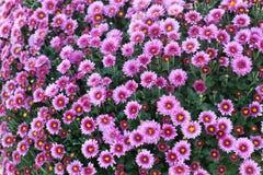 Field autumn pink flowers. Chrysanthemum. Marguerite. Royalty Free Stock Photos