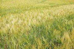 The Field av det mogna kornet Royaltyfria Bilder